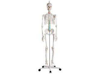 "Skelett ""OSCAR"" 1x1 Stück"